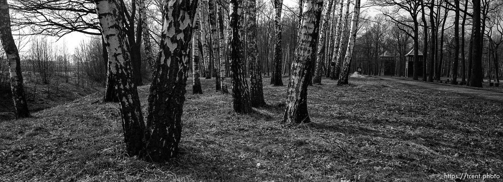 Trees at the Birkenau Concentration Camp.