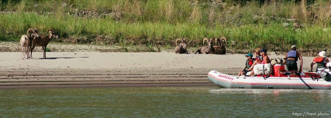 Bighorn sheep and a raft on a Native American river trip through Lodore Canyon and Dinosaur National Monument.