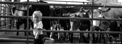 Boy and cattle. Round Valley Rodeo.
