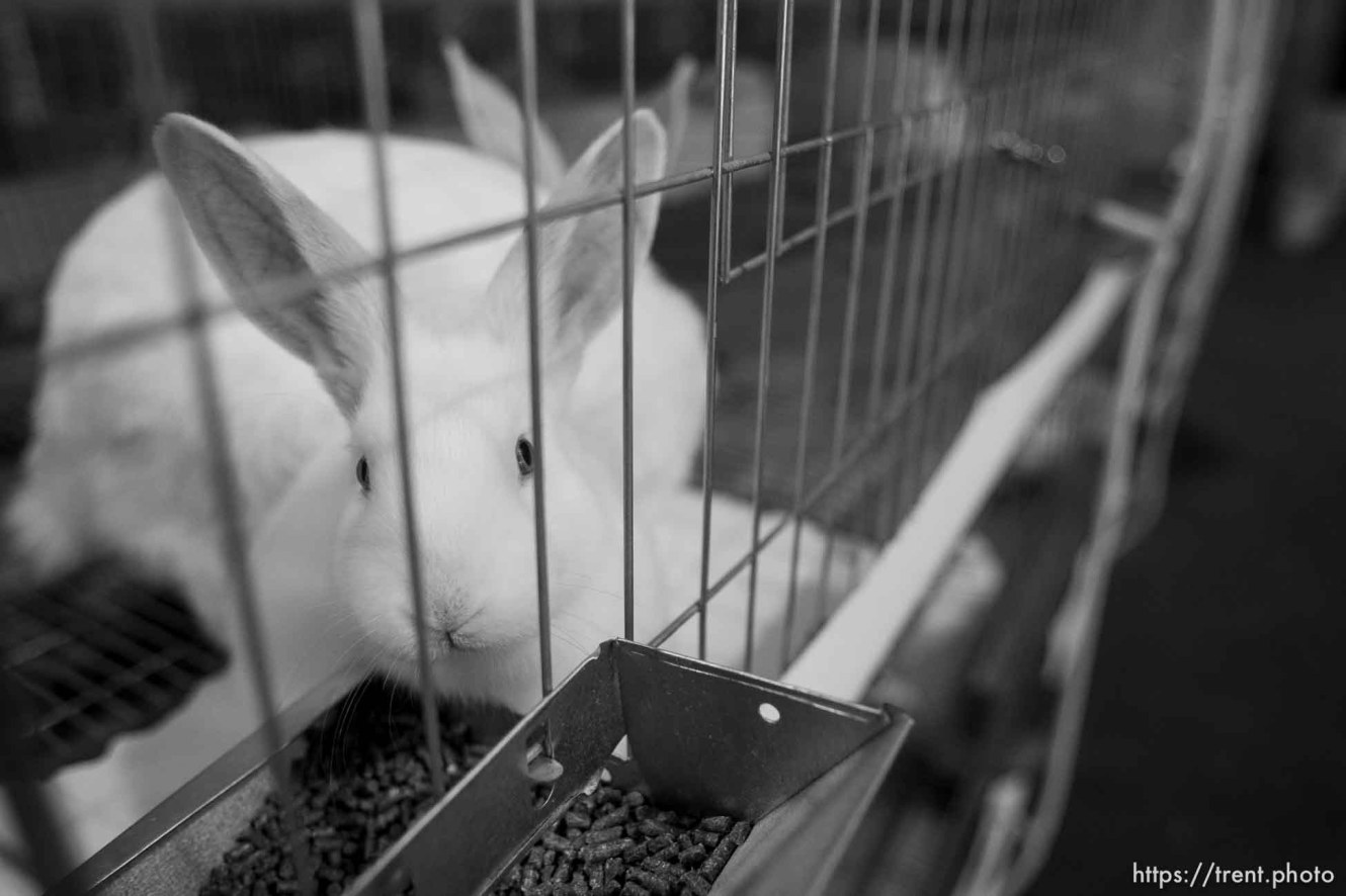 Trent Nelson | The Salt Lake Tribune rabbits in Hildale Tuesday, October 8, 2013.