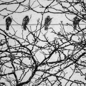 birds on line in snow, Friday January 20, 2017.