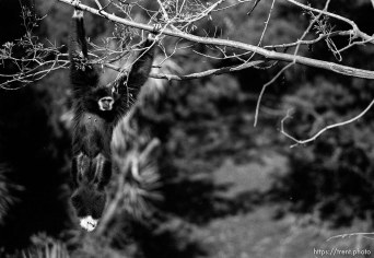 Monkey hanging in tree at the Oakland Zoo
