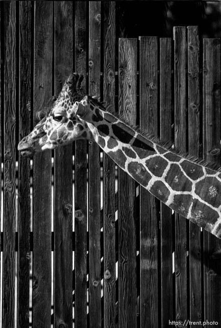 Giraffe at the Oakland Zoo
