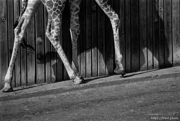 Giraffe's feet at the Oakland Zoo