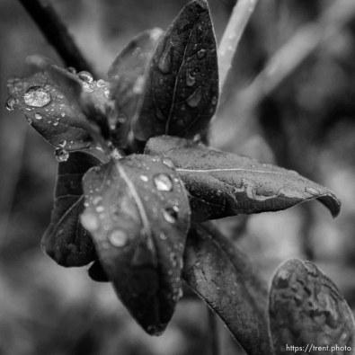 raindrops on leaf, Tuesday January 9, 2018.