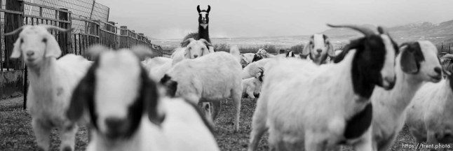 (Trent Nelson | The Salt Lake Tribune) The East Africa Refugee Goat Project, Saturday March 24, 2018.