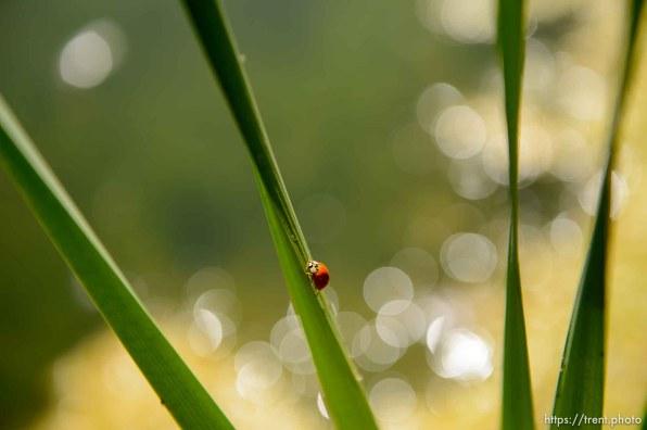 (Trent Nelson | The Salt Lake Tribune) Beetle, ladybug in Salt Lake City's Fairmont Park, Tuesday Sept. 11, 2018.