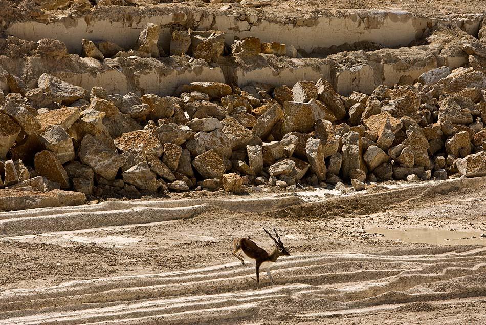 A Texas blackbuck skipping through a sewage area under construction on the YFZ ranch outside of Eldorado, Texas.