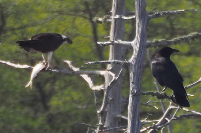 Osprey, Crow and Fish
