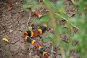 """Yes, that *is* """"red and yellow, kill a fellow"""" (coral snake). It went on its way without incident. Sorry for the blurry photo."""