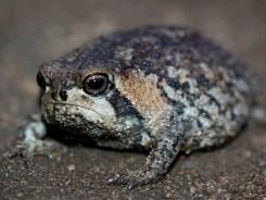 rain-frogs11