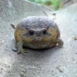 rain-frogs8