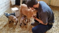 Jason Adkins holding a mother goat so its baby could nurse. The mother had triplets and has rejected one of the babies, so it would have enough milk for the other two.