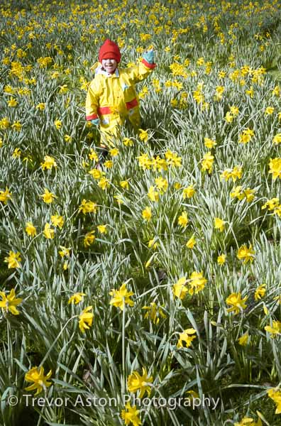 Photograph of waving child in daffodils. photography photographer