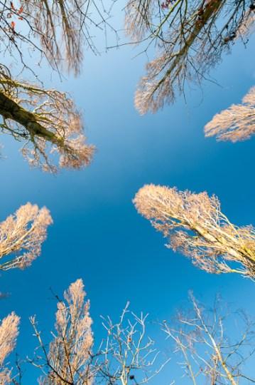tall trees under a blue winter sky
