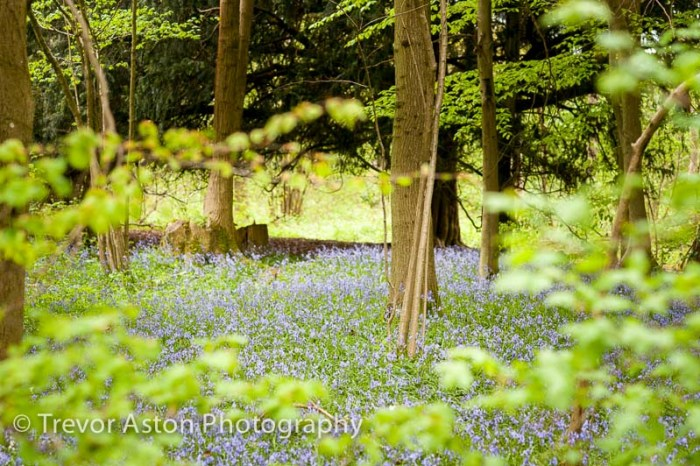 Bluebells seen through trees