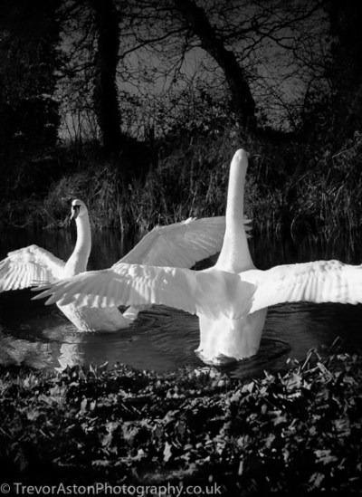 photograph of swans. photographer photography