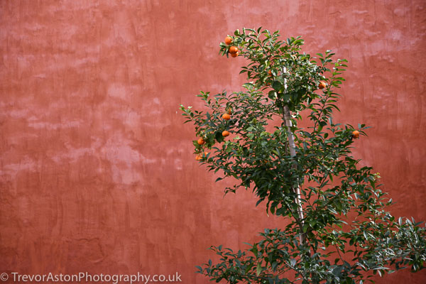 abstract photograph orange tree against a painted wall. photography photographer