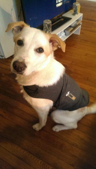 The Thundershirt makes Fen a normal dog, sometimes. (Photo by Sayaka Matsuoka)