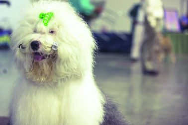 Dog-grooming is an art unto itself. Most of them seem to like it. This champion English sheepdog has no problems with these hair clips.