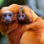 The Weekender: Save the Tamarins Edition