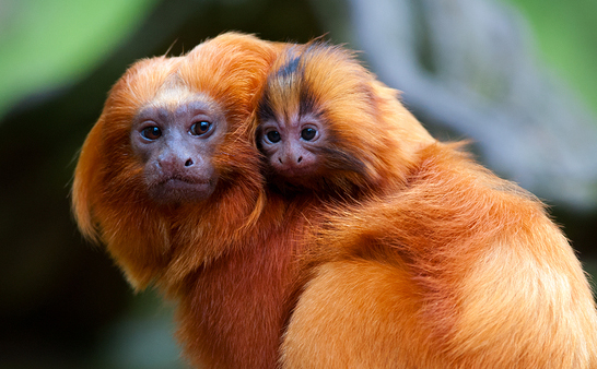 golden-lion-tamarin-weekender-edition
