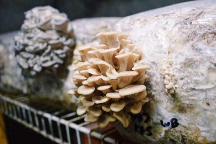 mushrooms-borrowed-land-farms-nc