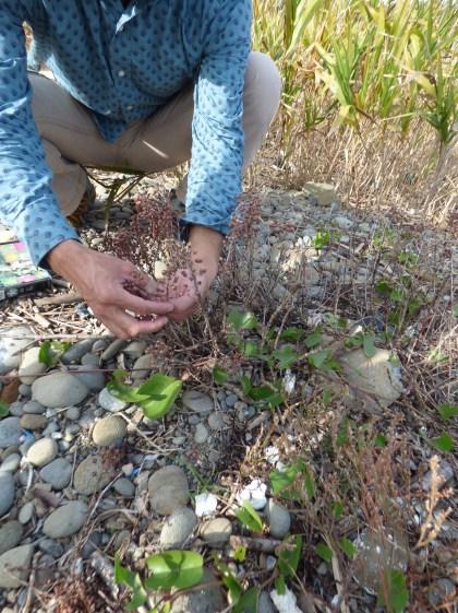 Seed collecting Limomium tetragonum