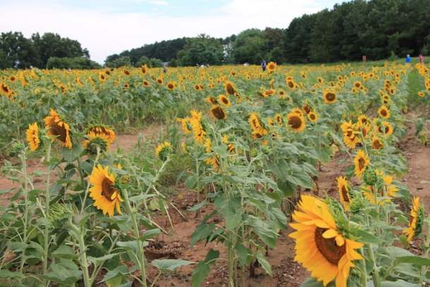 many sunflowers in Dix Park in Raleigh