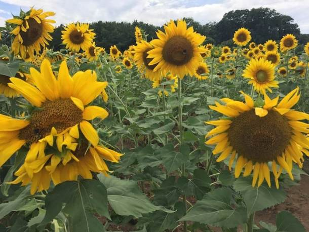 Sunflowers in field. Destination SunFest at Dix Park