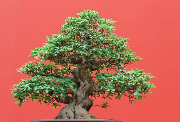 Beautiful Ficus Tree Bonsai Over Red Background
