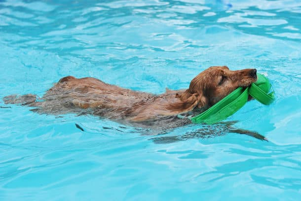 Purebred English Cocker Swimming In A Swimming Pool