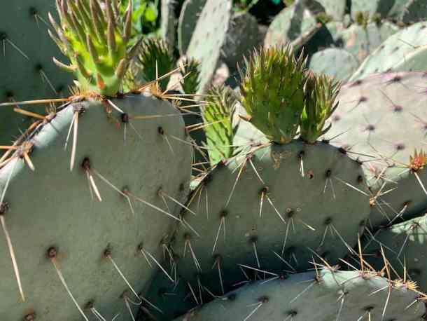Close-up of cactus at Juniper Level Botanic Garden