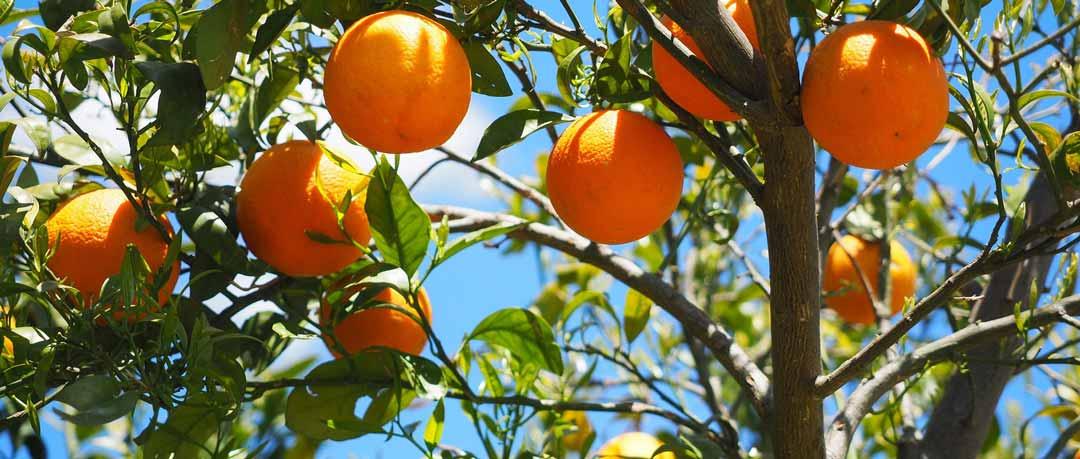 Oranges_bio