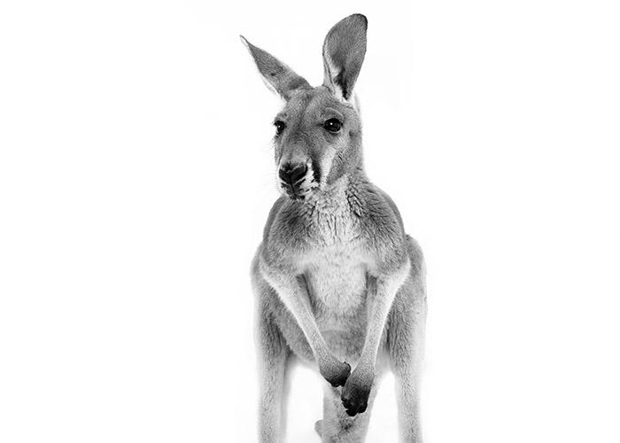 Kristopher Rutherford Kangaroo Portraits
