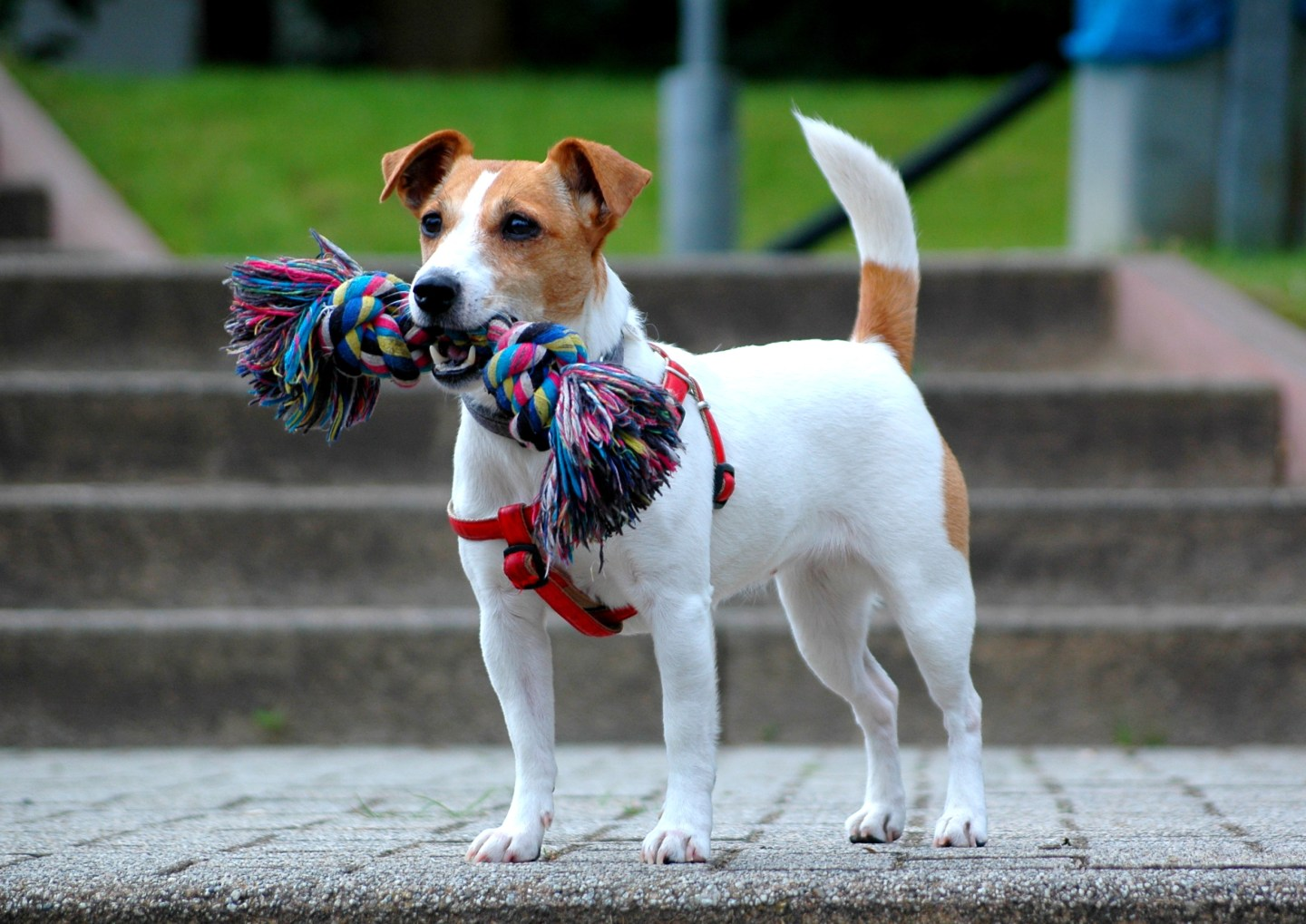 jack_russell_terrier_-_bitch_demi