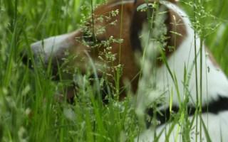 jack russel dans les herbes