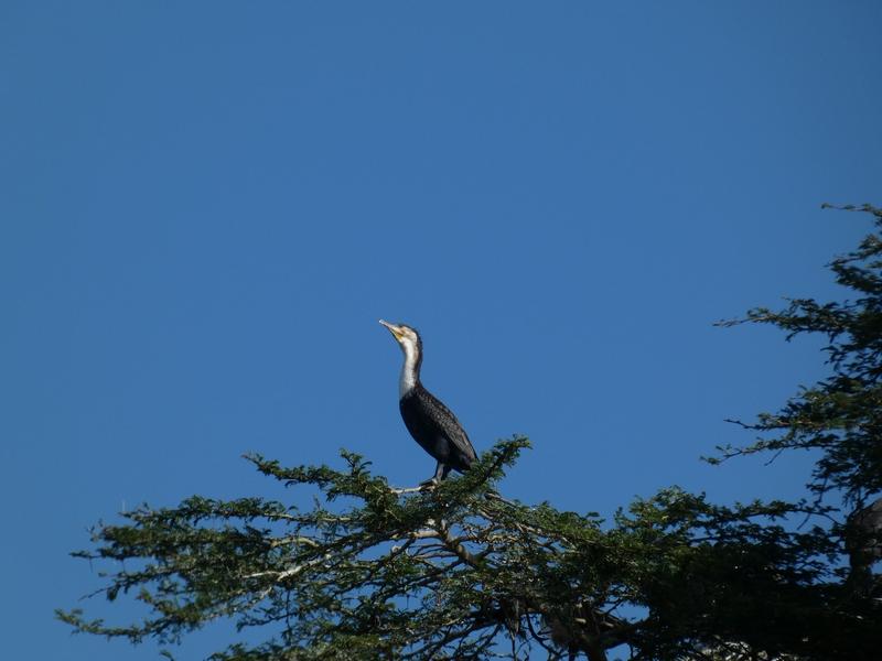 Bleu outremer kenya cormoran