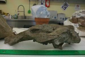 Preparacio final del crani, vista esquerra