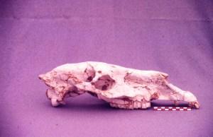 Crani d'Hipparion, recollit de Can Feu (1987)