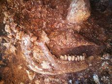Fòssil de la Cova del Rinoceront - Pedrera de ca n'Aymerich, a Castelldefels (Baix Llobregat)