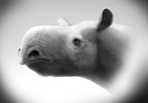 Figura 9. Reconstrucció de l'aspecte del rinoceront Dromoceratherium mirallesi, un gènere i espècie definits en base al material recuperat als jaciments de Gelida (Can Julià, les Cases de la Valenciana). Dibuix: Ó. Sanisidro.