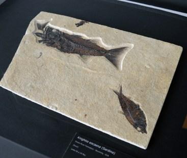 """Sardina fossilitzada de l'Eocè de la Formació Green River (Wyoming, EUA), exhibida a l'exposició """"Un mar de fòssils"""", al museu de l'ICP"""