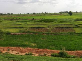 A 140 kilometre of rice plantation at Gulma Village of Argungu LGA, Brinin Kebbi, Kebbi State. PHOTO: RUTH OLUROUNBI