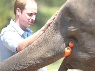 Prince William, Duke of Cambridge, meets a rescued elephant called 'Ran Ran' at the Xishuangbanna Elephant Sanctuary.