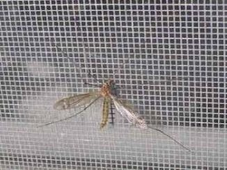 mosquito-net-and-mosquito-on-it