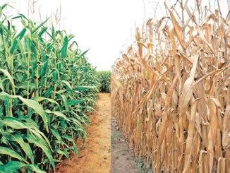 maize-plantation1