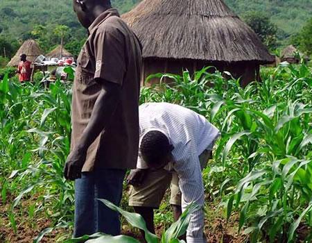 farmers, COVID-19, CBN, Anchor Borrower Scheme, fud, maize farmers