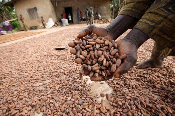 cocoa, cocoa processing in Nigeria