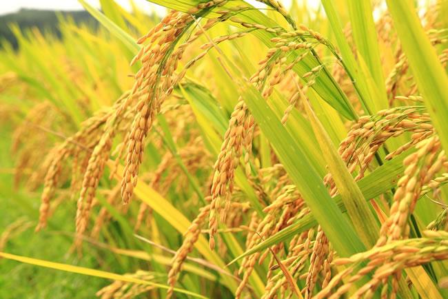flood rice